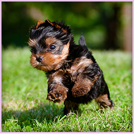 Silkshire Puppies For Sale in Pensacola, FL