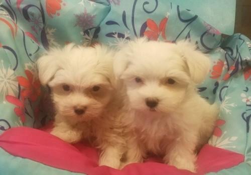 Maltese Puppies | Pensacola, FL